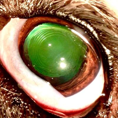Po usunięciu zaćmy jądrowej z implantacją soczewki - pies z Fot.3