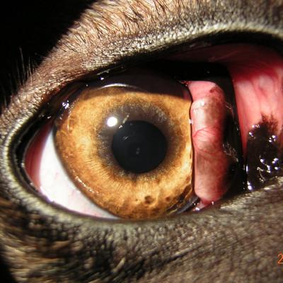 Podwinięcie powieki trzeciej u psa